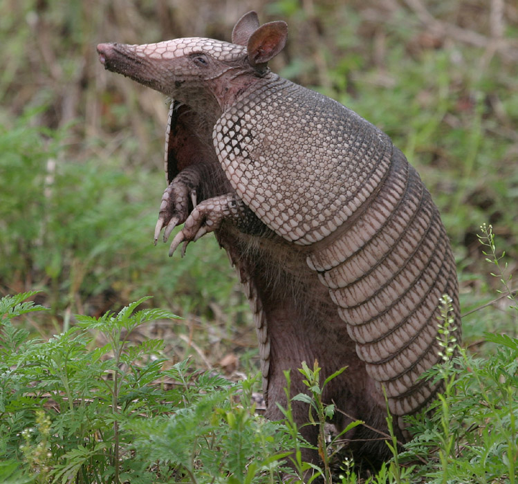 El armadillo será la mascota de Brasil 2014
